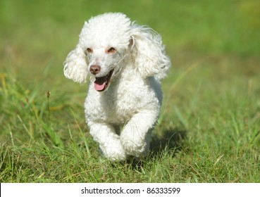 White toy poodle running in grass