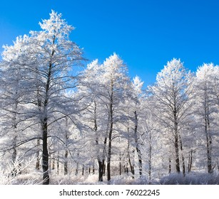 white trees with snow and crystal clear sky