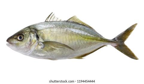 white trevally, striped jack, shima aji, Pseudocaranx dentex