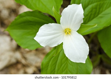 White Trillium Blooming in the Spring