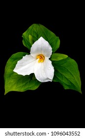 White Trillium in full bloom