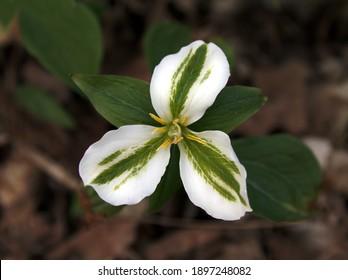 A white trillium (Trillium grandiflorum) with green on the petals.  Shot in Waterloo, Ontario, Canada.