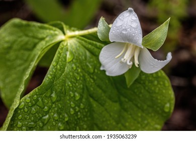 White trillium wet from rain in the spring woodland.