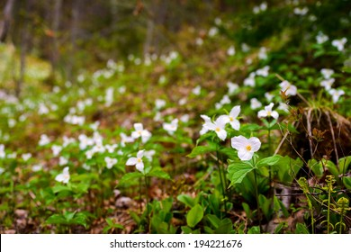 White Trilliums growing in a valley.  Trillium grandiflorum is the official emblem of the Province of Ontario and the State Wildflower of Ohio.