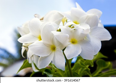 White tropical  flowers in  bora bora , island, amazing ,nature ,french ,polynesia ,floral ,tree  ,petals, heaven ,holiday ,green ,leaves ,sky, blue ,fresh, floral, fauna, spring ,summer, tahiti,
