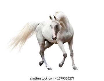 white trotting beautiful arabian horse isolated on white