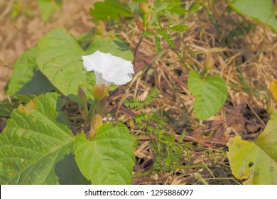 White trumpet-shaped datura, stramonium flower blossom with green nature blurred background. known as jimsonweed, devil's snare, devil's trumpet, moon flower, toloache, hell's bells, Jamestown weed.
