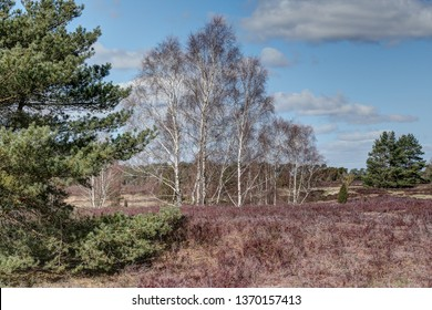 The white trunks of the birches and the heath which shines red under the spring sun, offer for the visitor of the Lüneburg Heath a dreamlike nature ensemble.
