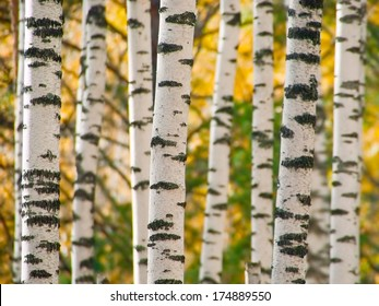 White trunks of birchwood trees contrast yellow leaves