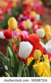 White Tulip among multicolored tulips at Tesselaar Tulip Festival, Melbourne, Victoria Australia