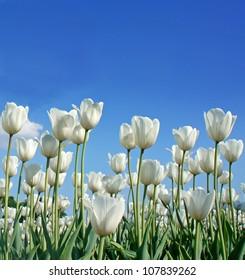 White tulip (botanical name : Tulipa spp.) against blue sky background