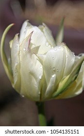 White tulip with dew