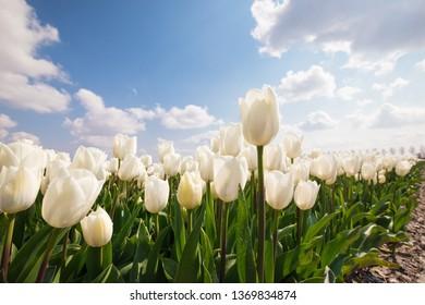 white tulip field an d blue sky, Holland