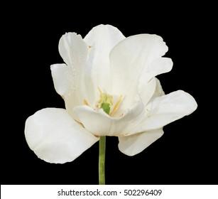 White tulip flower macro isolated on black.