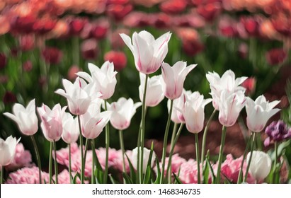 White Tulip flowers bloom in spring background  of blurry tulips in a tulip flowers garden. Nature.