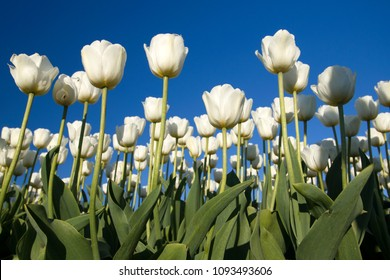 White tulip flowers photographed with a cloudless blue sky