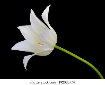 White tulip isolated on black background
