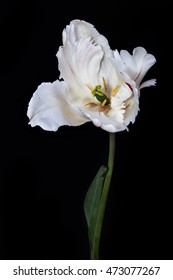 white tulip on a black background