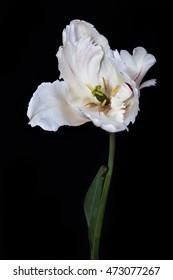 white tulip on a black background