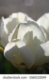 White tulip in spring
