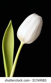 White tulip as a symbol of good bye