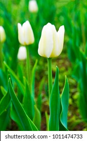 The white tulips