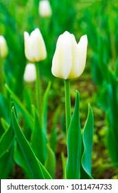 The white tulips