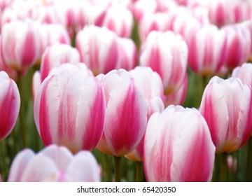 White tulips closeup in Keukenhof park, Netherlands