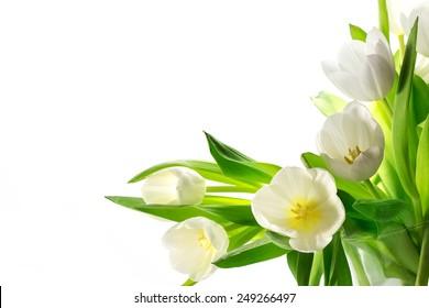 white tulips corner background isolated on white