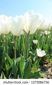 white tulips in the field and sky