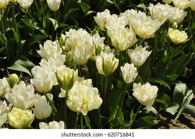 White tulips in a field at a tulip festival in western Washington state U.S.
