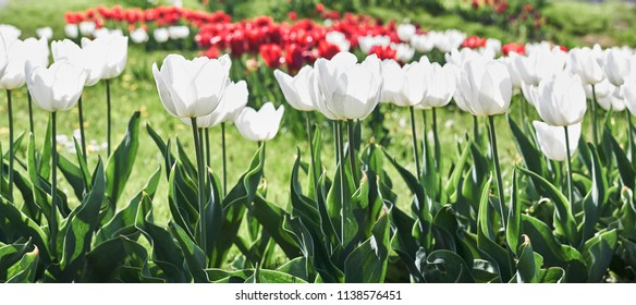 White tulips flowers blooming on background red tulips flowers.