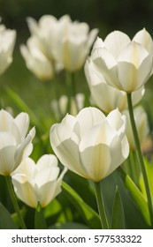 White tulips in the garden. Spring concept