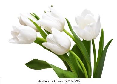 White tulips isolated on light background