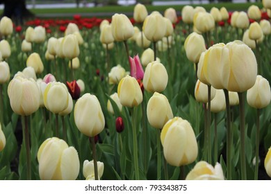White tulips near Dow's Lake in Ottawa, Canda.