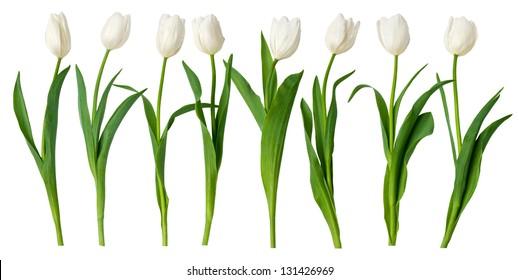 white tulips, on white background.