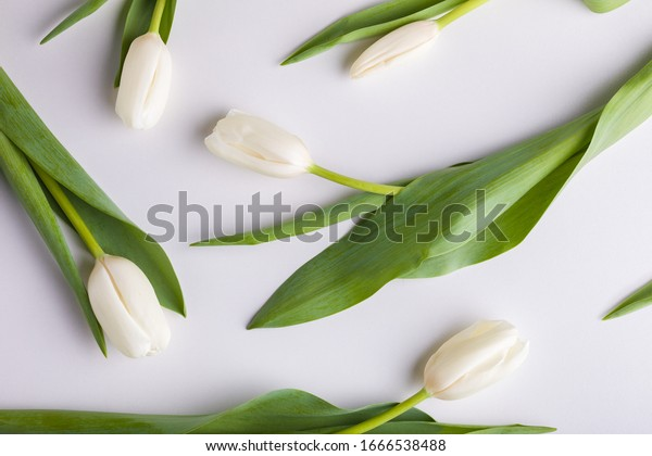 White tulips on a white background. Floral background.