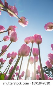 White tulips are red with petals against the sky.