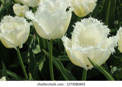 white tulips in the sun and sky