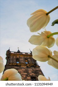 White Tulips with The Tower on the Charles Bridge in Prague in the background