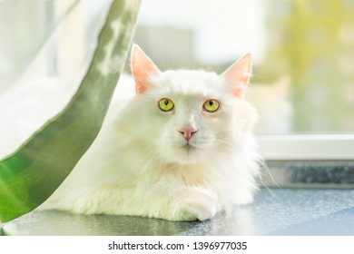 White Turkish Angora is a beautiful breed of a domestic cat.