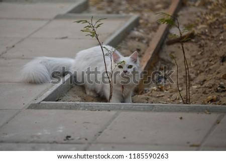 White Turkish Angora Cat Closeup Photography Stock Photo Edit Now