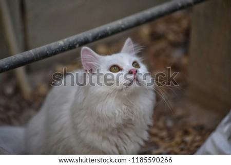 ec4399c808 White Turkish Angora Cat Closeup Photography Stock Photo (Edit Now ...
