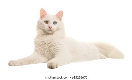 White turkish angora odd eye cat lying down seen from the side looking at the camera isolated on a white background