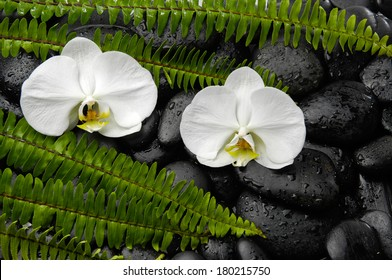White two orchid with green fern on black pebbles