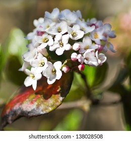 White Viburnum snowball flowers in spring - square cropped image