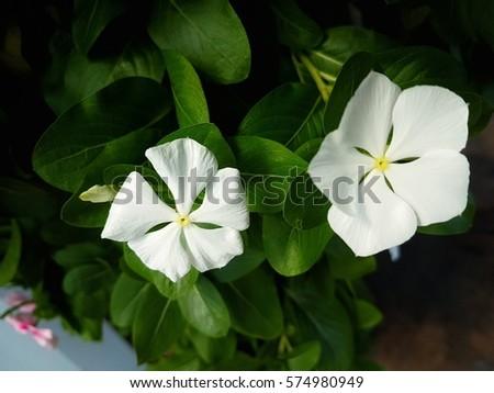 White Vinca Flower Stock Photo Edit Now 574980949 Shutterstock