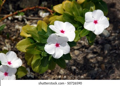 White vinca flower with pink center.