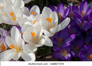 White and violet crocuses under the spring sun
