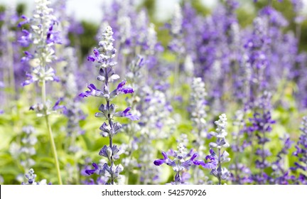 white and violet Salvia flower in field